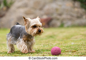 Cute small playful yorkshire terrier - Cute small yorkshire...