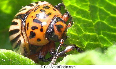 Colorado potato beetle - Colorado Potato Beetle Larva,...