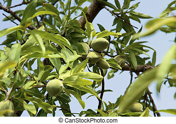 Almond tree detail - Almond tree with green almonds on a...
