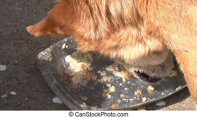 Old dog eating from bowl Register stray dogs - Red-haired...