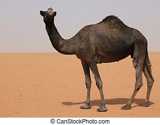 Black Camel - Black single camel in the sand desert