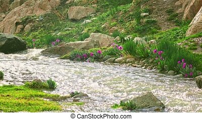 Purple flowers by cold spring mountainous steam in the rain...