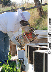 Beekeeper with Beehives - Beekeeper releasing a package of...