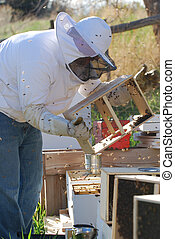 Beekeeping - Beekeeper releasing a package of bees into a...