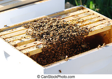 Swarm of Bees - Swarm of bees recetly released into a new...