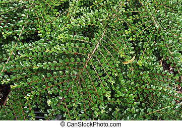 Lush foliage of growing bushes. Natural green background.