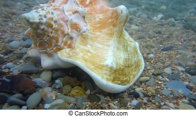 Conch shell underwater shot in the ocean water - Conch shell...