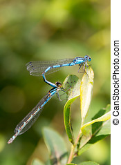 Dragon Fly, common blue damselfly - Dragon Fly seen and shot...