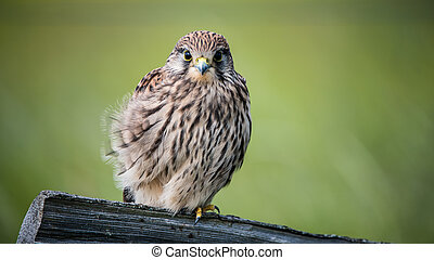 Juvenile - The Juvenile Kestrel Falco tinnunculus have a...