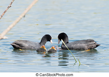 Black Coot with Chcks at Sea - Black Coot with Chicks seen...