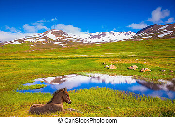 At the water resting beautiful Icelandic horse