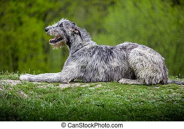 Irish Wolfhound lies on a green grass