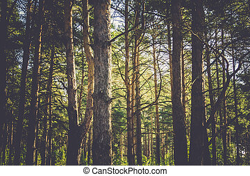 Pine Trees Macro Filtered - Close up of pine trees in the...