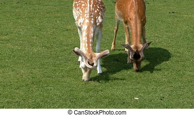 Two spotted fallow deer eat grass - Two young spotted fallow...