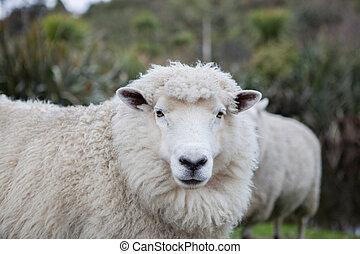 close up merino sheep in new zealand livestock farm