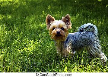 dog - york dog on grass