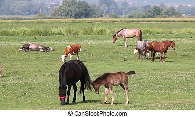 horses foal and cows on pasture