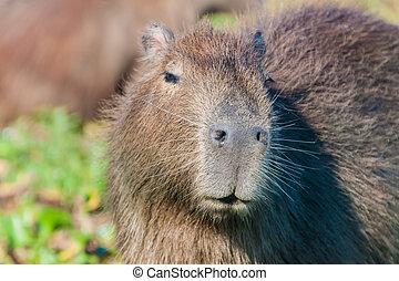 Capybara (Hydrochoerus hydrochaeris) in Esteros del Ibera,...