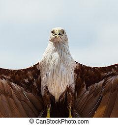Bald eagle on white background