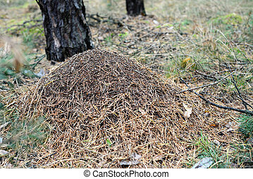 anthill in a forest - anthill in a european forest