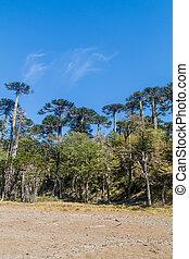 Araucaria, bosque, en, nacional, parque, Herquehue,
