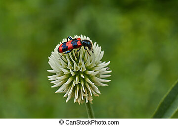 Bright red beetle on a flower meadow - Bright red beetle on...