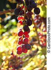 Close-up of a bunch of red grapes on grapevine in vineyard