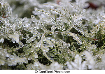 Ice covered evergreen