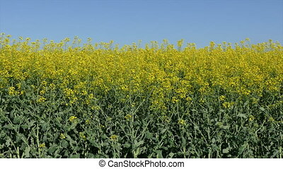 Rapeseed plant, zoom in HD video - Oil rape, canola plants...
