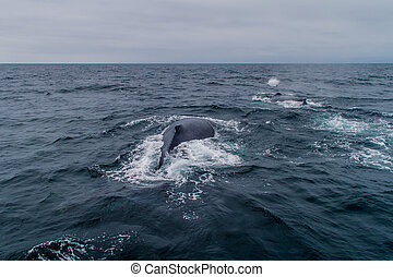 Humpback whale Megaptera novaeangliae in Machalilla National...
