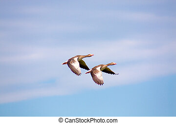 Two geese flying