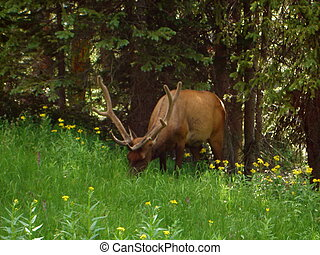 Grazing Elk - We literally crossed paths with a huge...