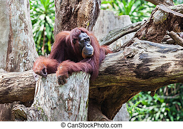 Orangutan - The orangutans are the two exclusively Asian...