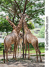 Giraffes - The giraffe (Giraffa camelopardalis) is an...