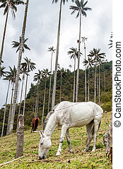Horses graze under the tall wax palms in Cocora valley,...