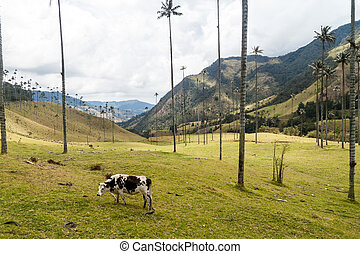 wax palms - Cow grazes under the wax palms in Cocora valley,...