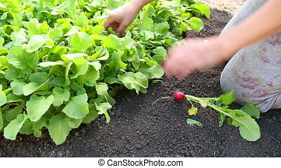 Gardener with radish - Gardener and radish in garden bed