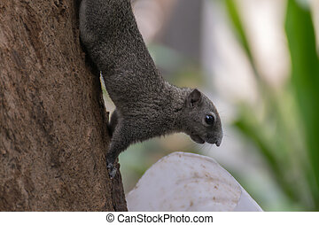 Squirrel holding onto a tree branch - Squirrel is member of...