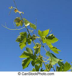 Grapevine vitis - Grapevine plantae magnoliophyta...