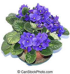Saintpaulia African Violet house plant flower (plantae...