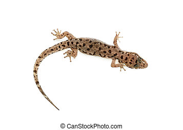 brown spotted gecko reptile isolated on white