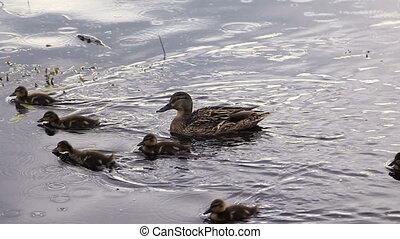 Baby Mallard ducks and ducklings
