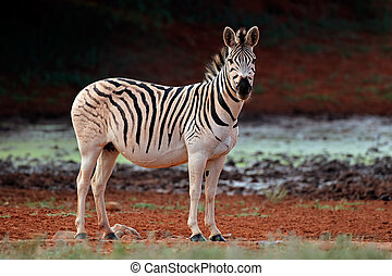 Plains Zebra in natural habitat - A plains (Burchells) Zebra...
