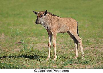 Blue wildebeest calf - A young blue wildebeest calf...