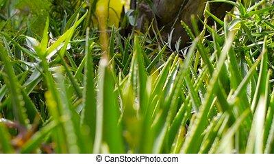 Aloe vera handheld shot focusing