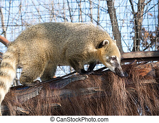 South American Coati - the South American coati Nasua nasua...