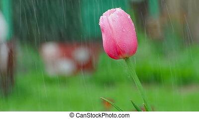 Pink tulip flower under rain