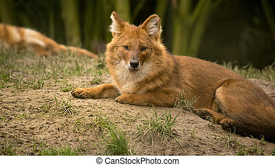 Asian wild dog or dhole - Asian wild dog also known as a...