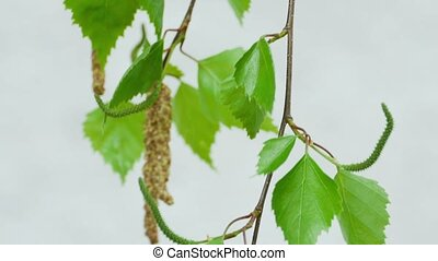 Birch twig with catkins - Birch catkin bloom and leaves in...