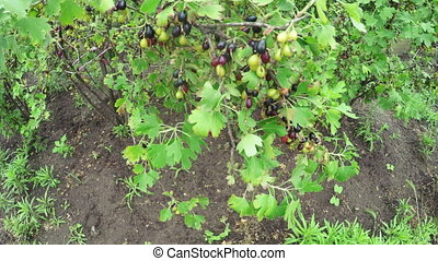 Gooseberry bush on nature - In garden grow gooseberry bushes